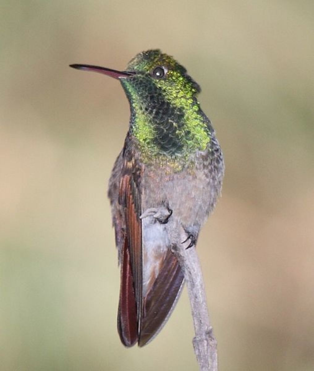 Different species of hummingbirds: Berylline hummingbird