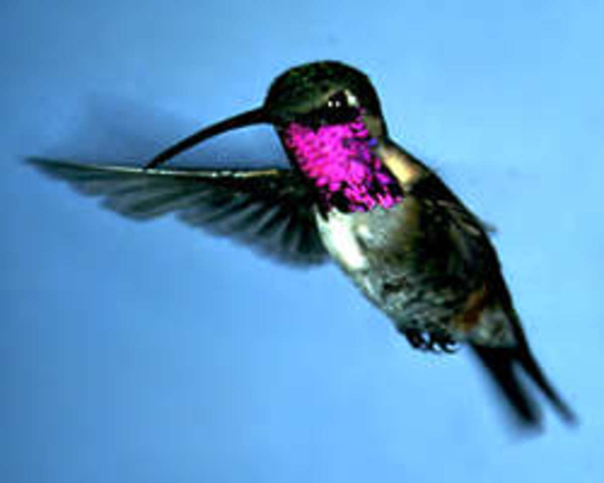 Different species of hummingbirds: Lucifer hummingbird