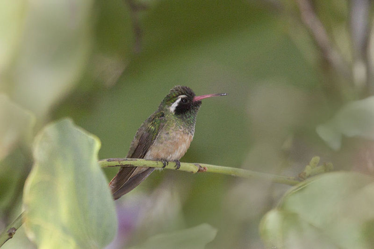 Different species of hummingbirds: Xantus' hummingbird