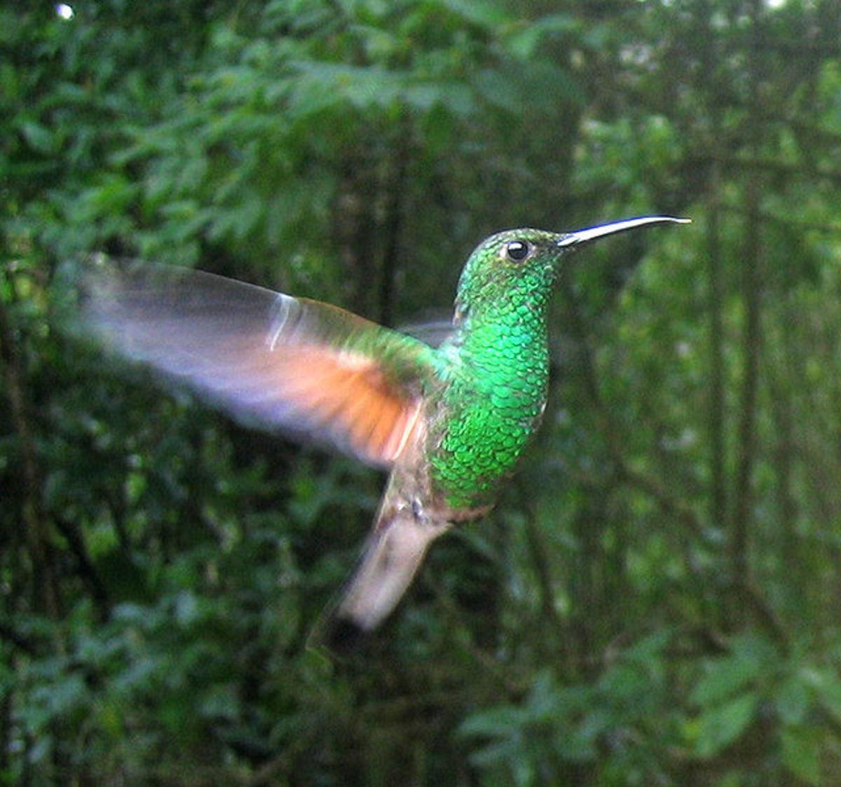 Different species of hummingbirds: Buff-bellied Hummingbird
