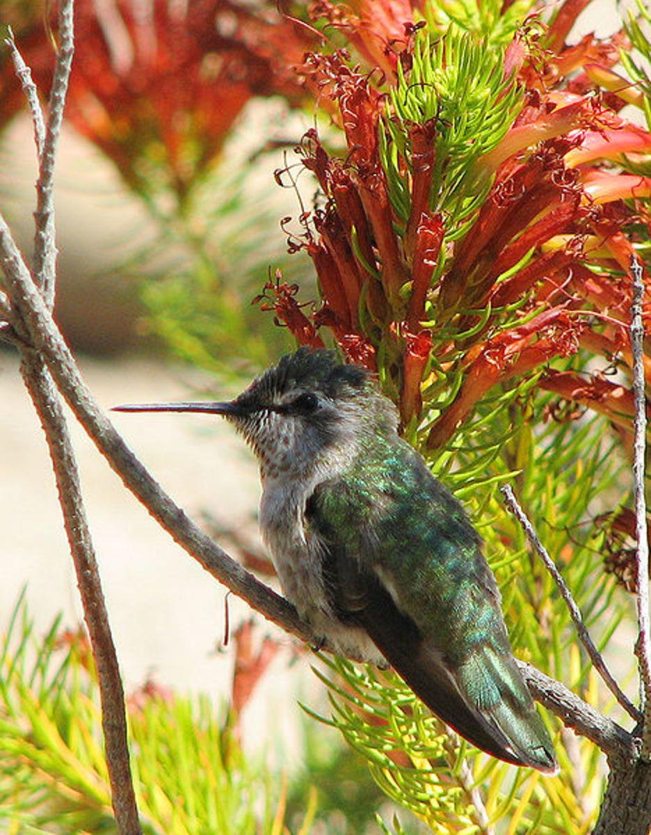 Different species of hummingbird: Anna's hummingbird