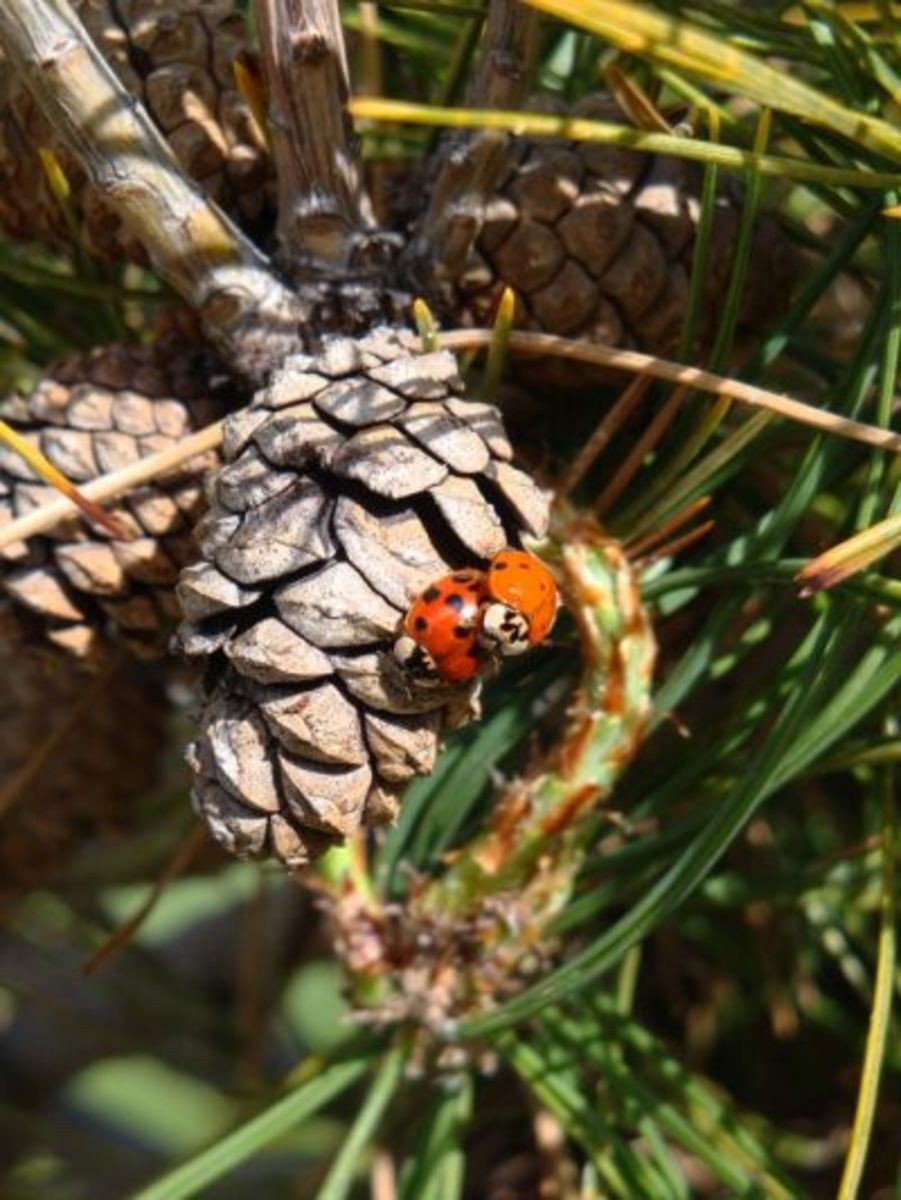 Spring fever is here and love is in the air as evidenced by the ladybugs on the Tanyosho pine cone