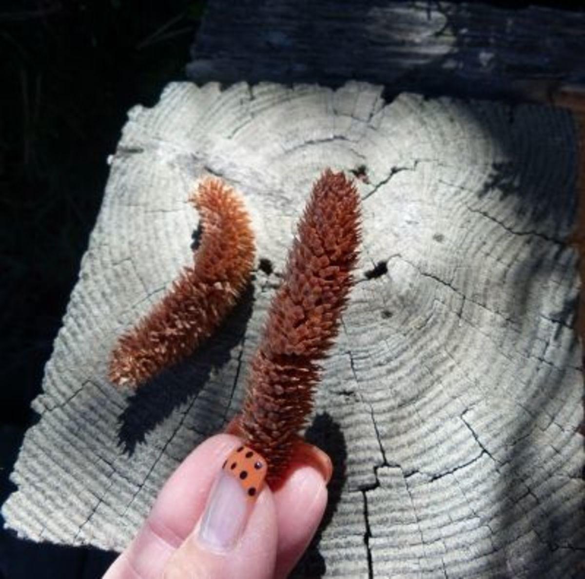 Dried male pollen cones of Atlas Blue Cedar