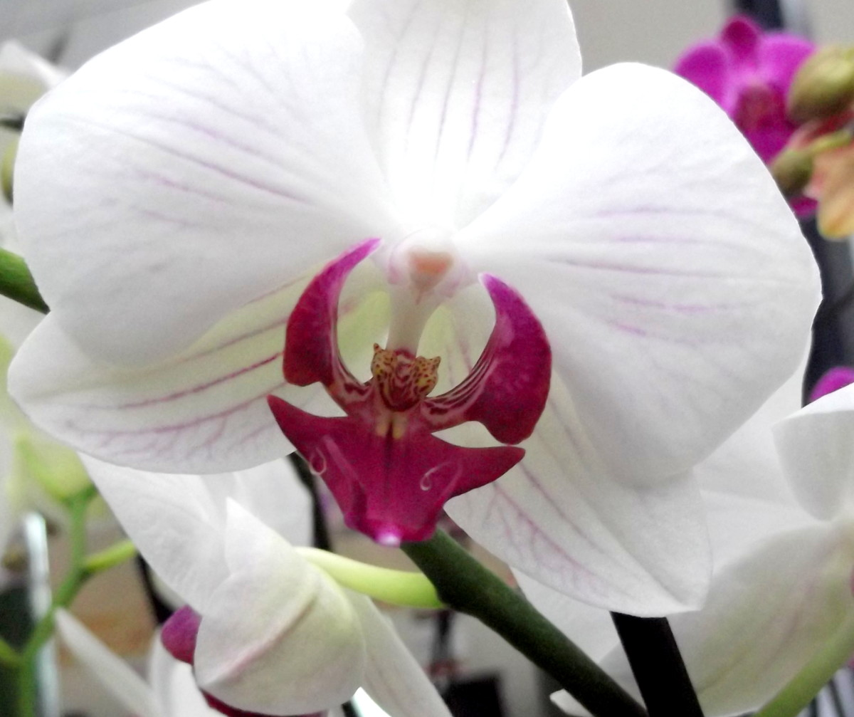 moth orchid coloring pages - photo#34