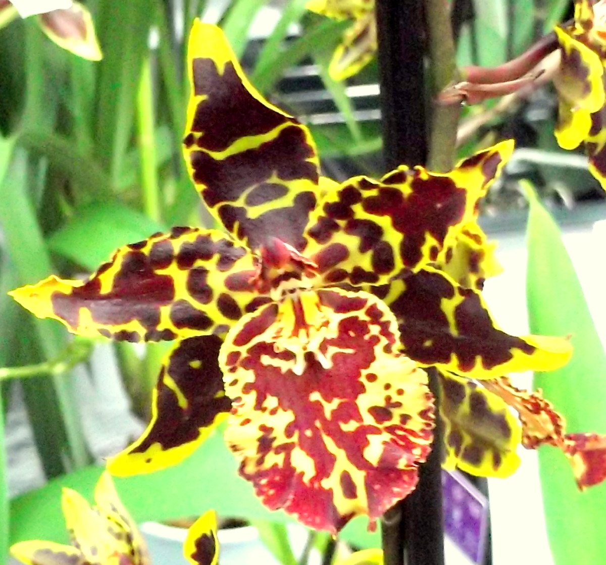 Variegated moth orchid