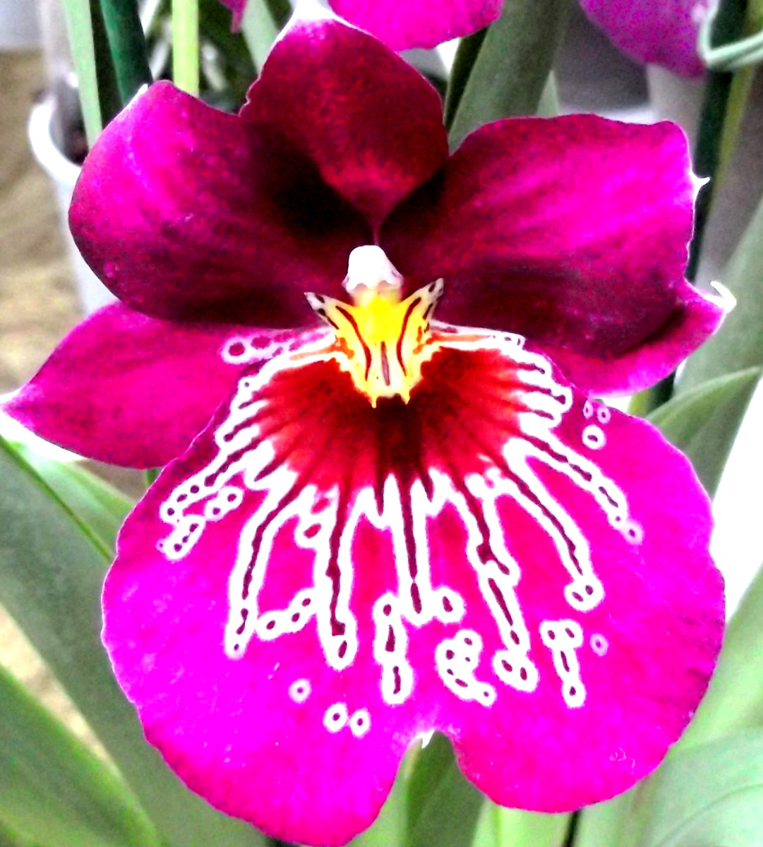 Moth Orchid Color Varieties | HubPages