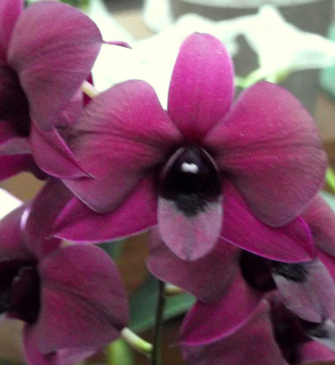 the-phalaenopsis-orchid-the-moth-orchid-comes-in-a-multitude-of-colours