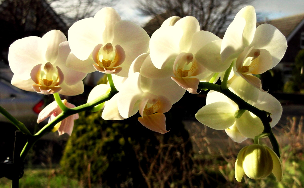 The Phalaenopsis Orchid or Moth Orchid