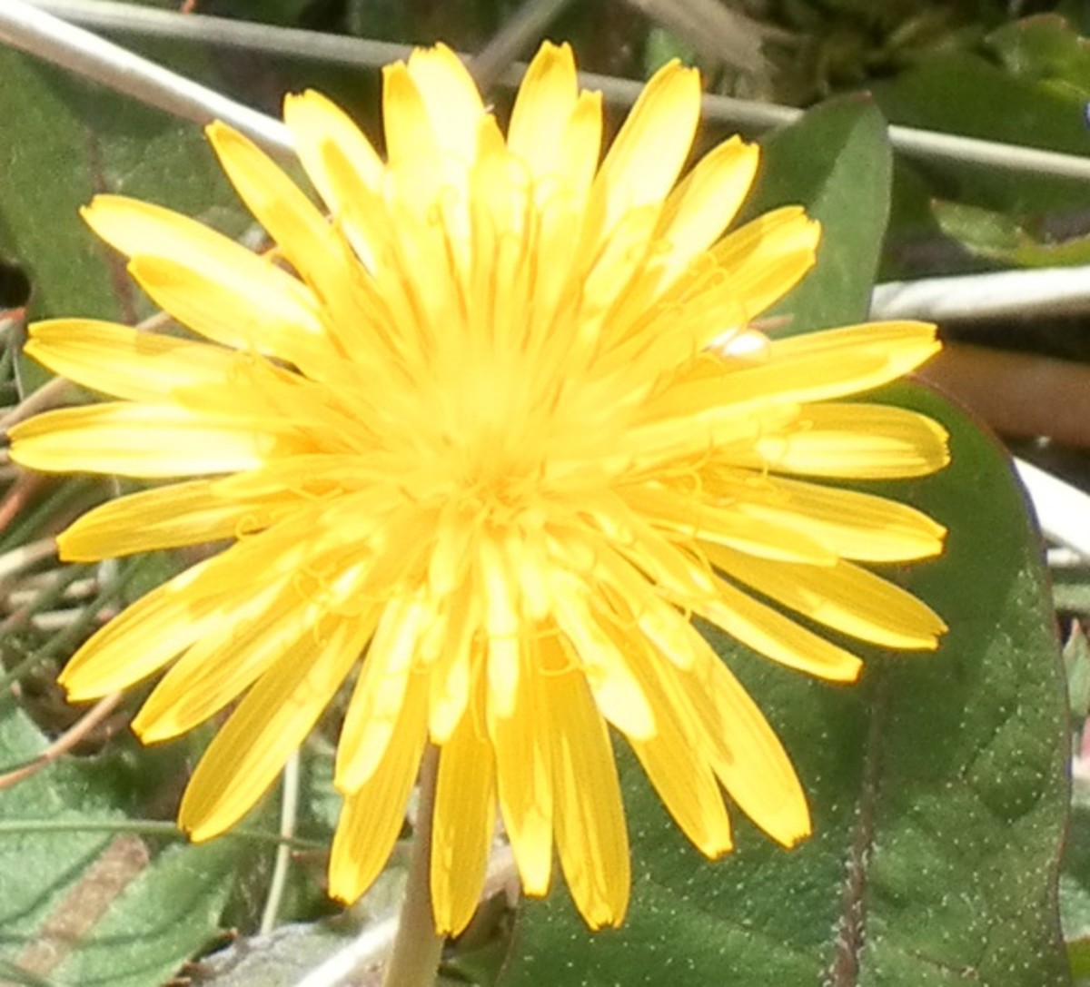 Dandelion flowers are known as piss-a-beds in parts of Lancashire