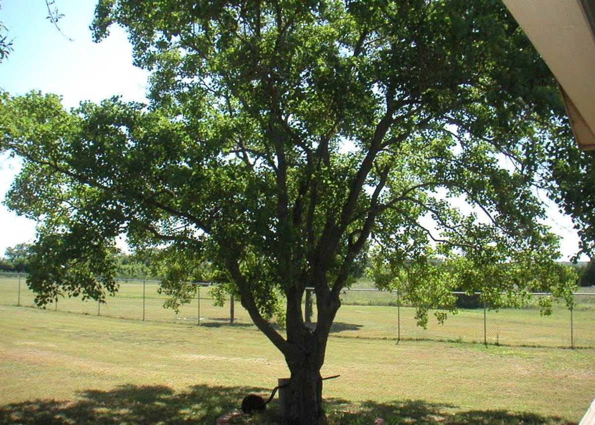The hearty nature of the Triadica Sebifera, known as the Chinese Tallow or Popcorn Tree, is responsible for its exponential growth rate.