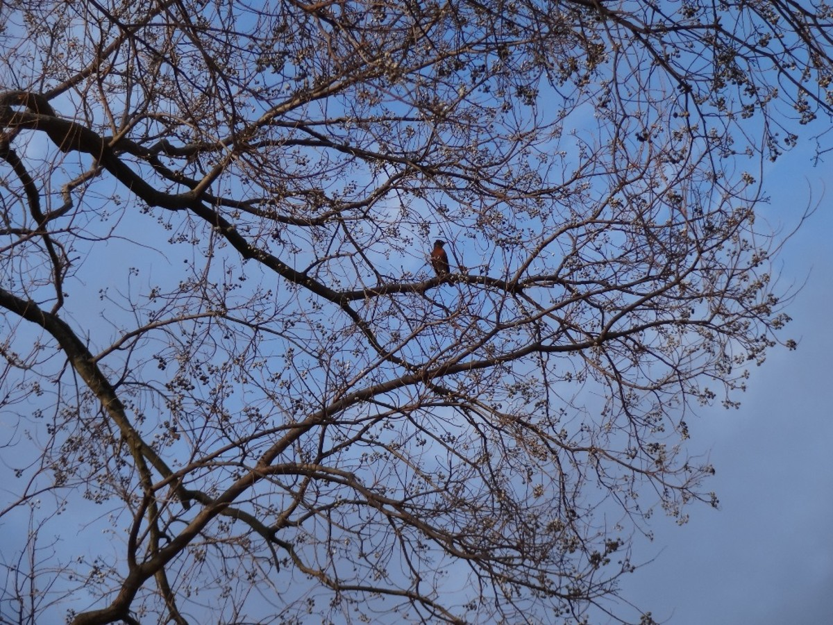 February 2018, a robin seeks out the remaining fruit on the tree.