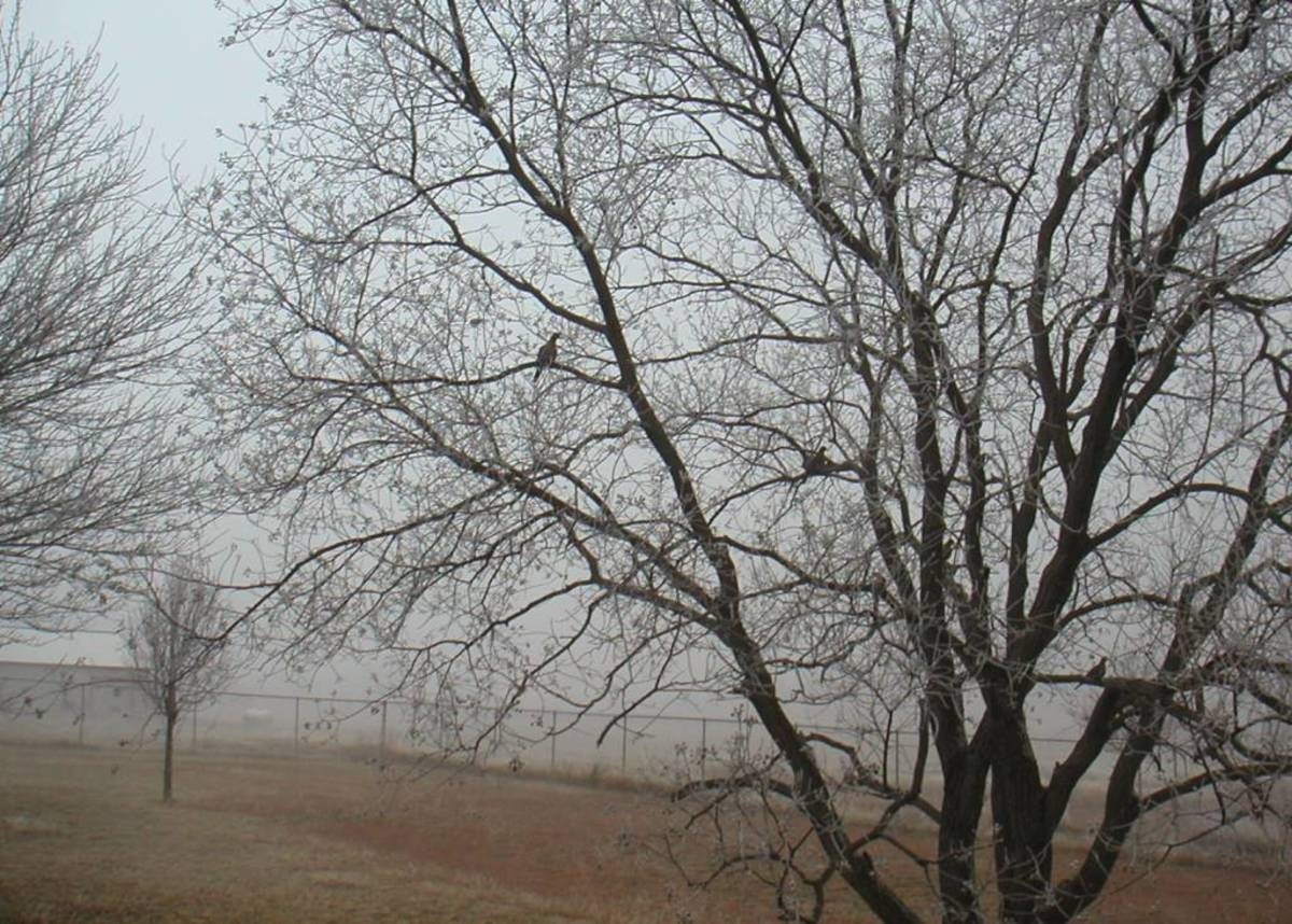 Birds roost in the bare limbs seeking the popcorn fruit of the Chinese Tallow tree.