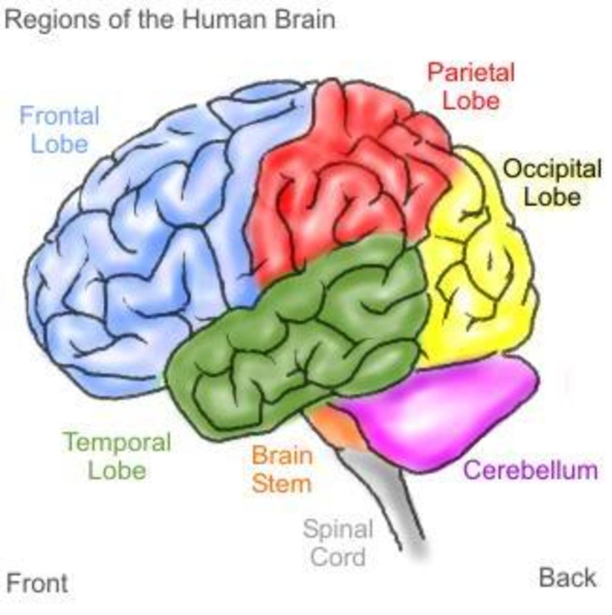 Various parts of the brain.