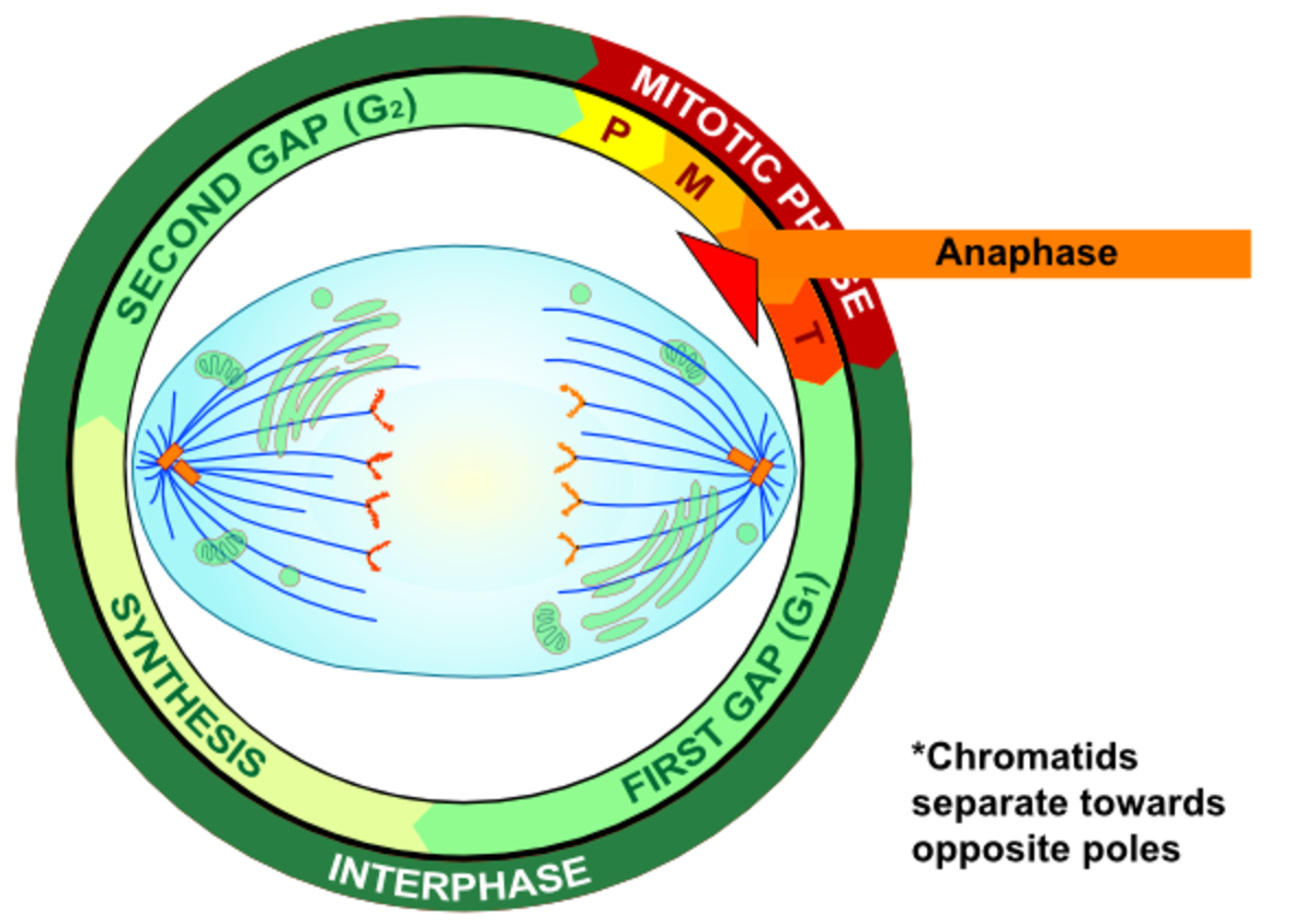 Anaphase - Centrioles pull chromatids to themselves via spindle fibres attatched at the centromeres.