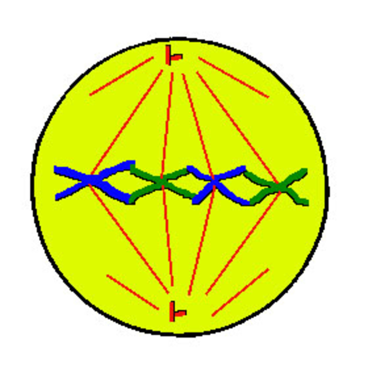 Metaphase - chromosomes line up in the centre and attach to centrioles via spindle fibres at the centromere.