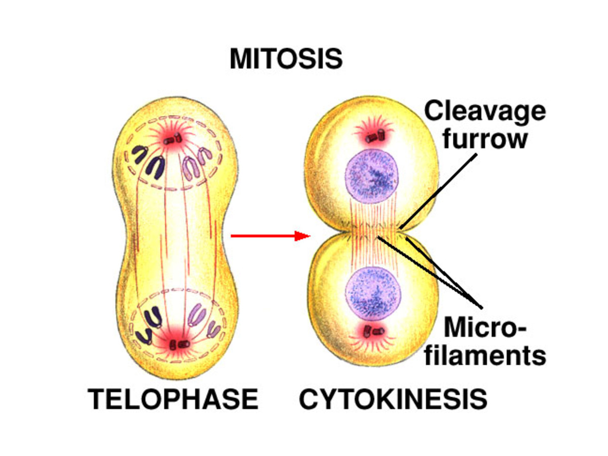 Telophase - break down of spindle, reformation of nuclear envelope, appearance of nucleolus.  Cytokinesis - cleavage furrow made and pinching off occurs.