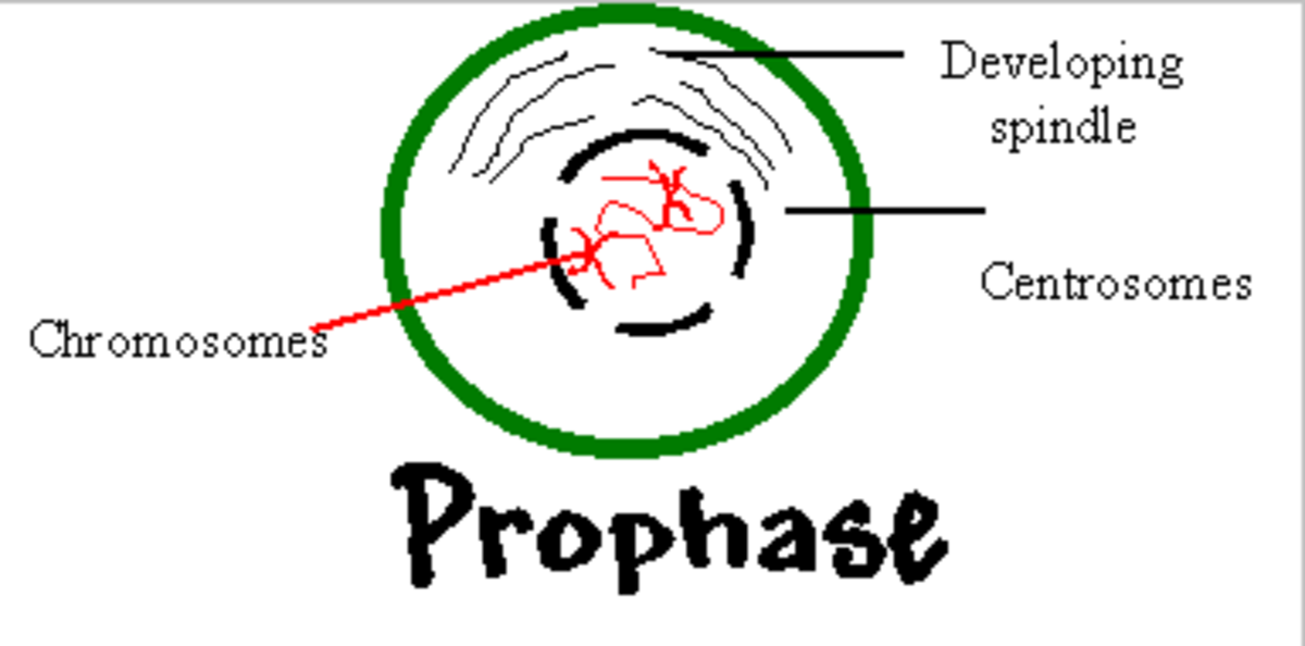 Prophase: Condensing DNA, Centriole formation, Nuclear envelope break down and Nucleolus disappearance.