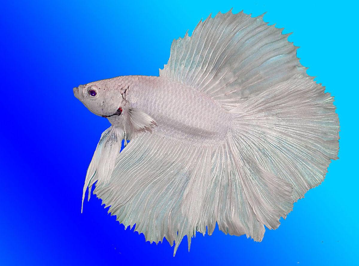 Blue Half Moon Betta Fish White Half-moon Betta Male