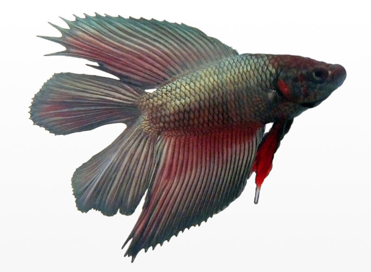 A double tail male