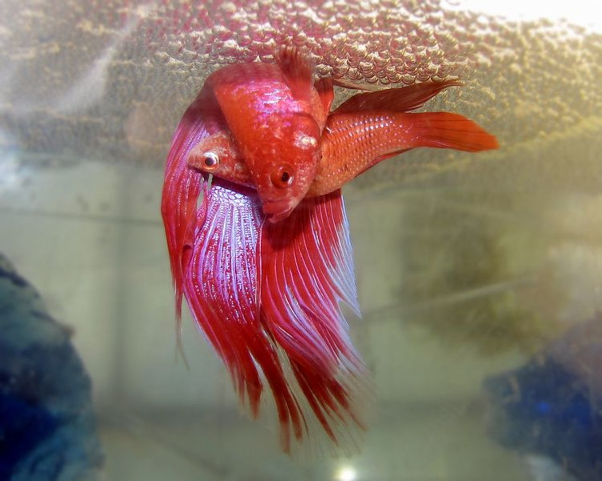 A pair of bettas embracing under a bubble nest