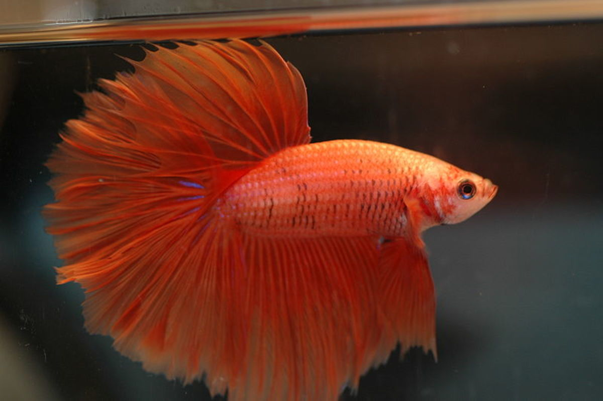 Orange halfmoon beta fish male
