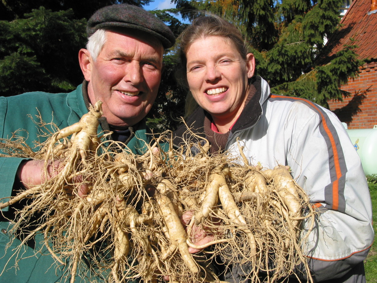 Ginseng Roots Harvested