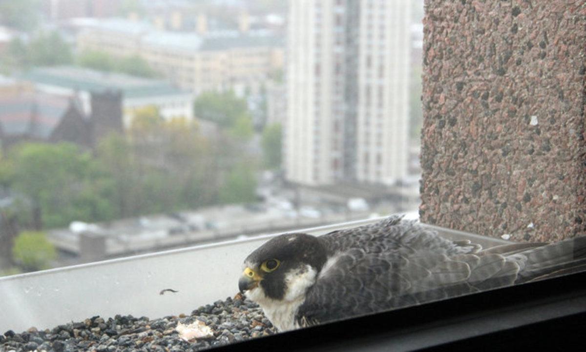 Nesting on a window ledge