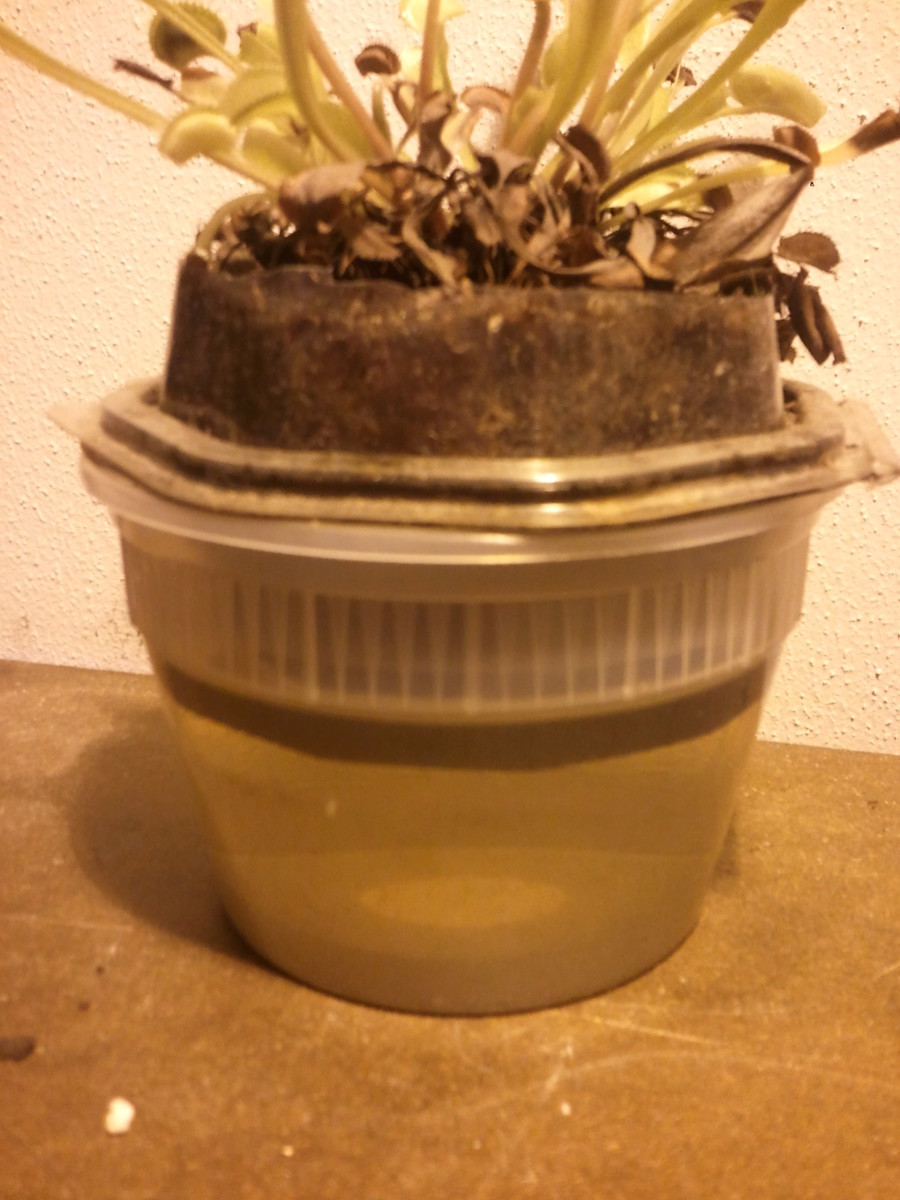 Venus Flytrap being watered using a Tupperware container filled with distilled water. The potted plant is placed inside the water container