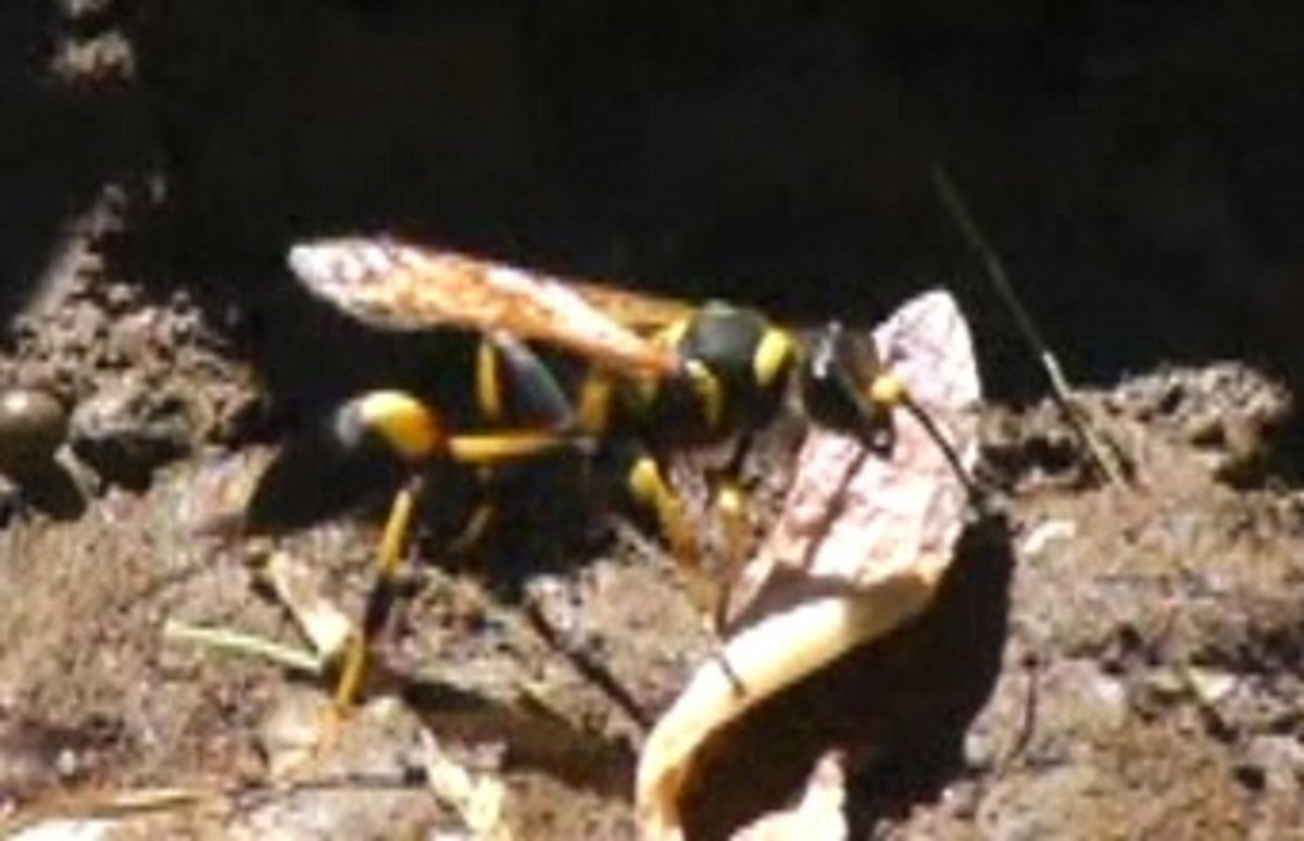 Video: Mud Dauber Wasps Build Nests With Mud in My Back Yard