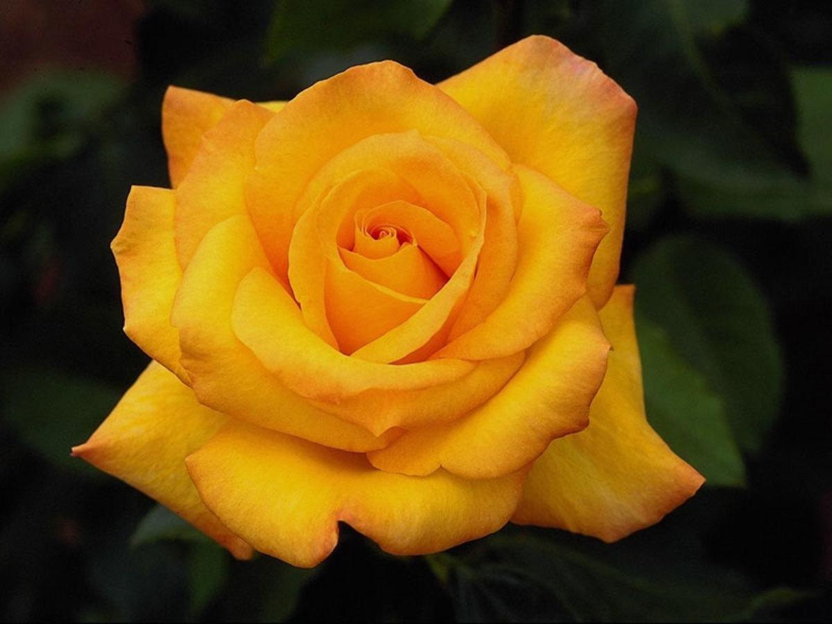 medicinal-values-of-rose-rose-petal-tea-and-rose-sherbet-recipe