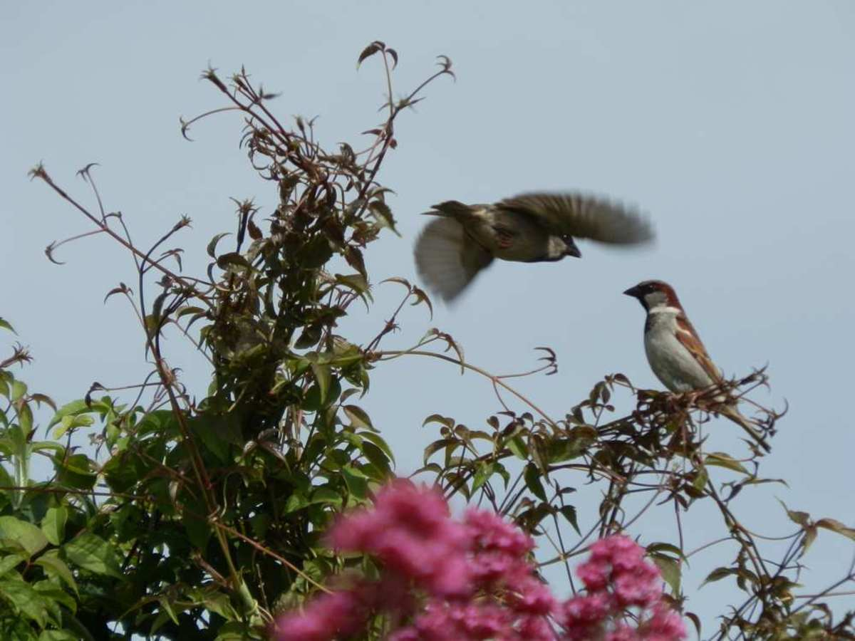 sparrows near Jupiter's Beard flowers
