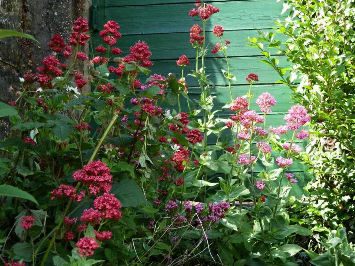 Centranthus ruber, brightening up a dull corner