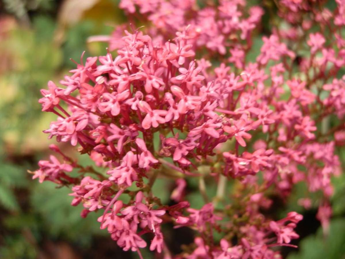 close-up of the clusters of flowers on Red Valerian