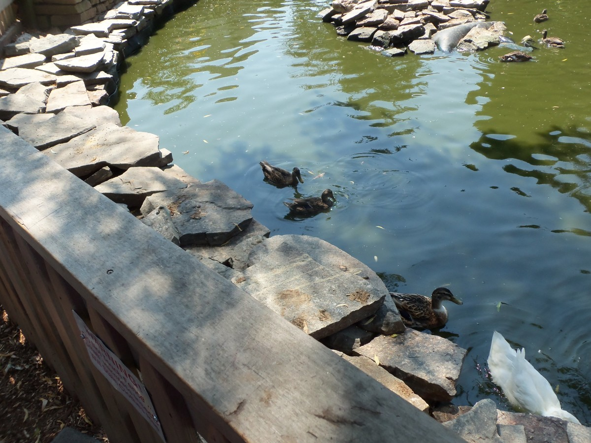 The ducks come right up to you and calmly walk around as you walk by.