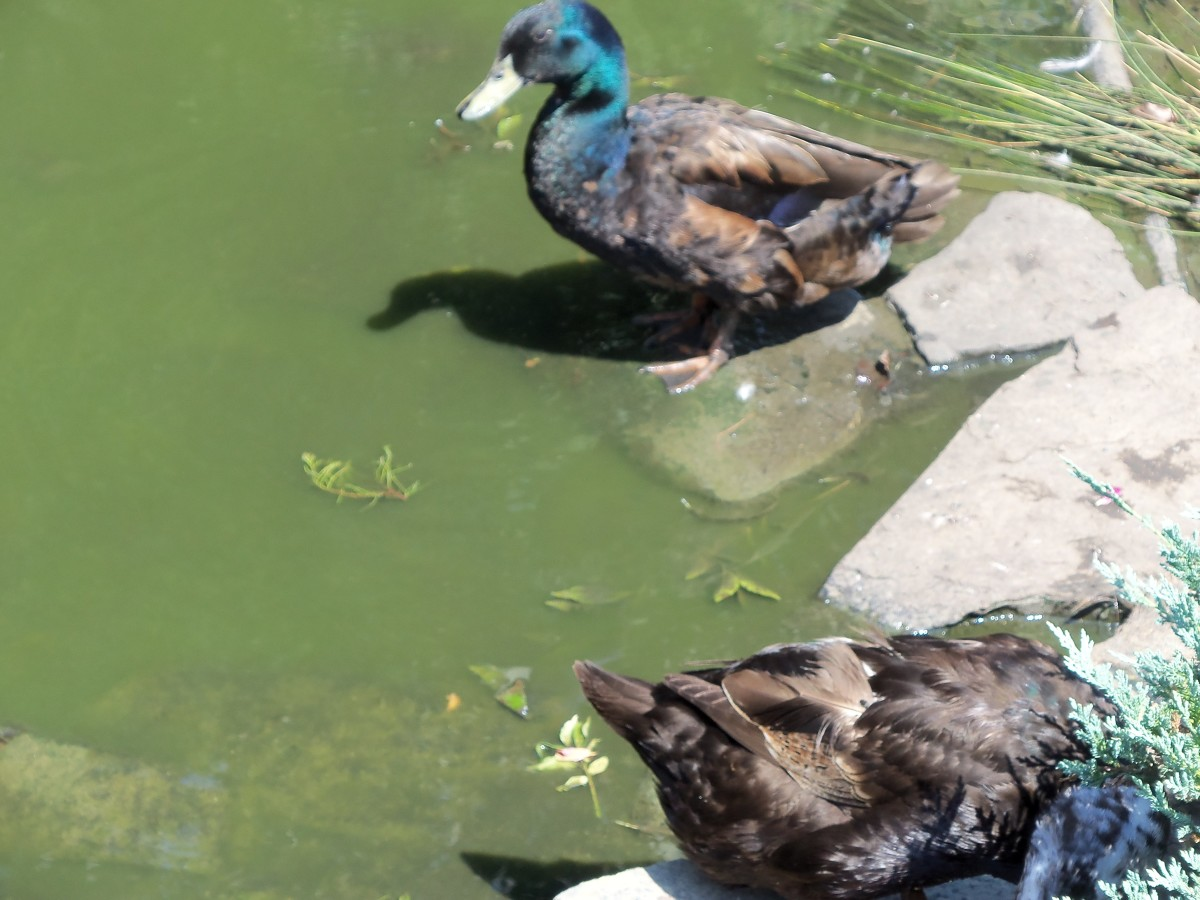 The ducks are beautiful and colorful.