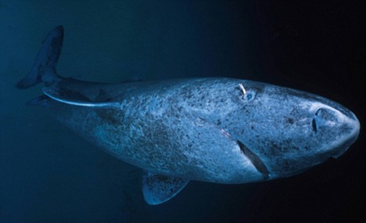 Greenland shark - not the the white copepod hanging from its eye
