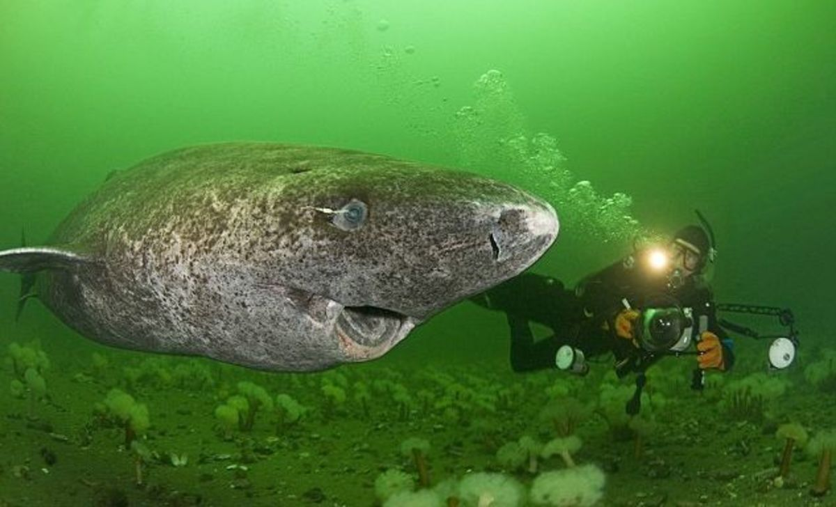Greenland shark looking cute!
