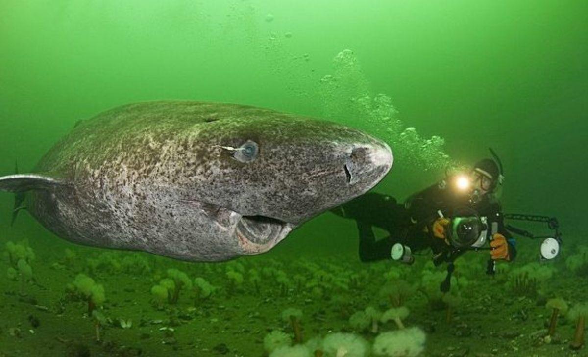 Greenland shark looking cute!