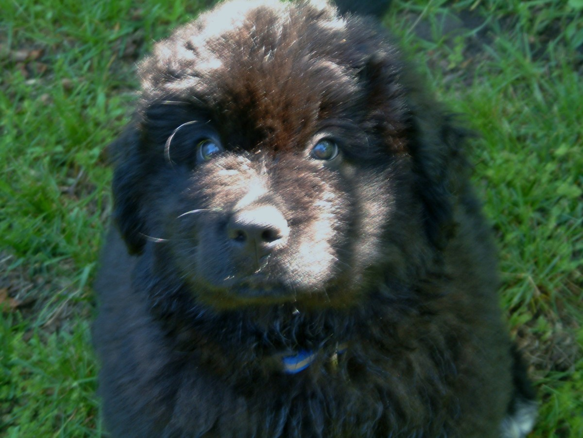 Bruce - Newfoundland Pup at 9 weeks old.