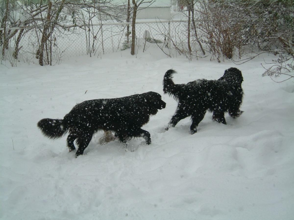 "Newfs enjoying a romp in the snow. ""Woo Hoo It snowed!"""