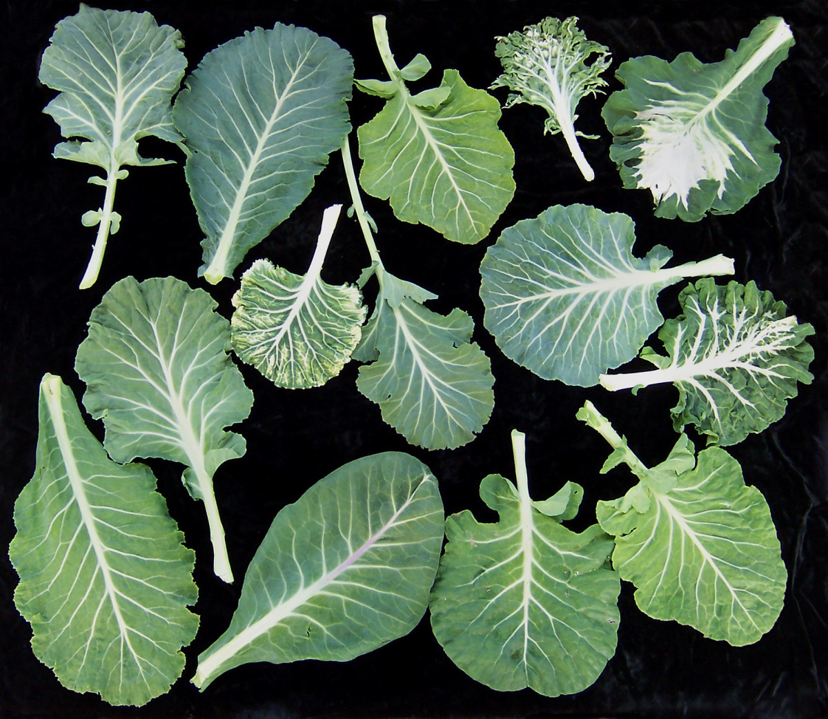 Leaves from a variety of collard greens