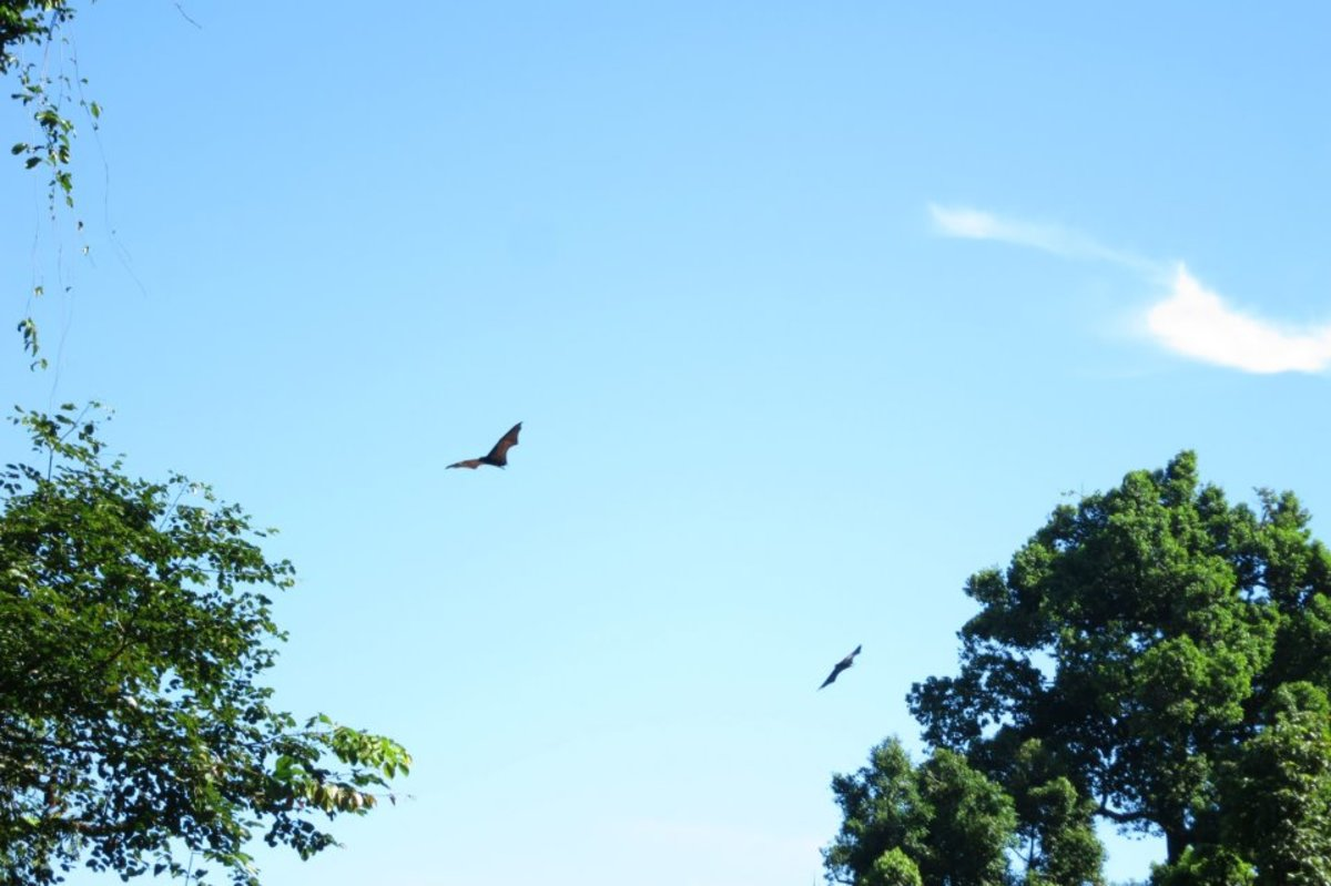 Bird Watching? Nah, it's too mainstream in Mambukal Mountain Resorts. You should try, Bat Watching.