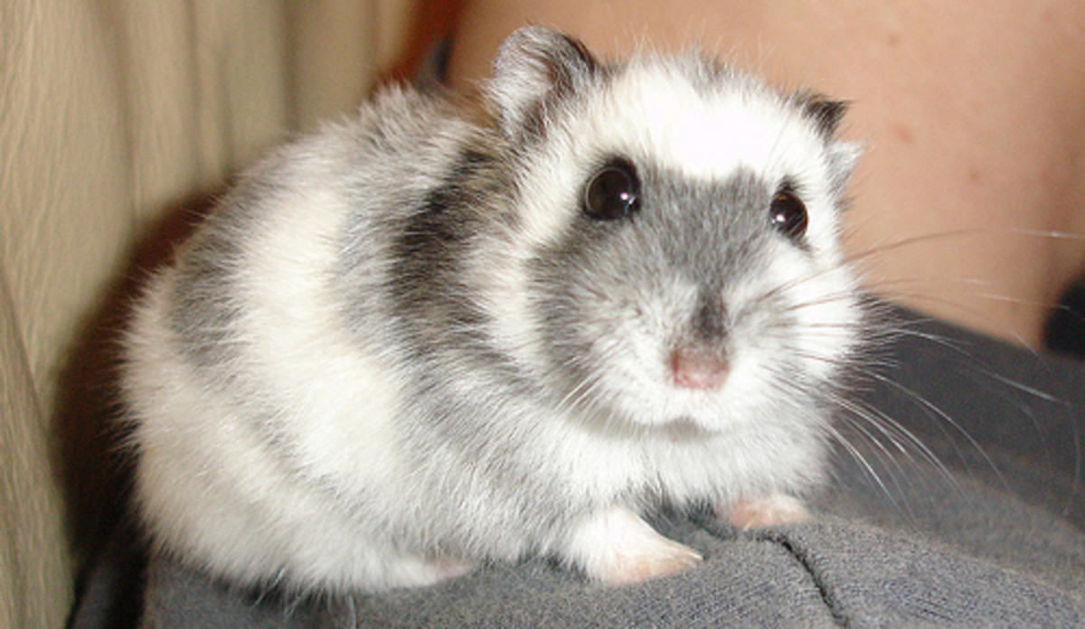In the above photo is a beautiful Russian Dwarf Hamster. Do Your Own Research So You'll Know What To Do With A Sick Hamster