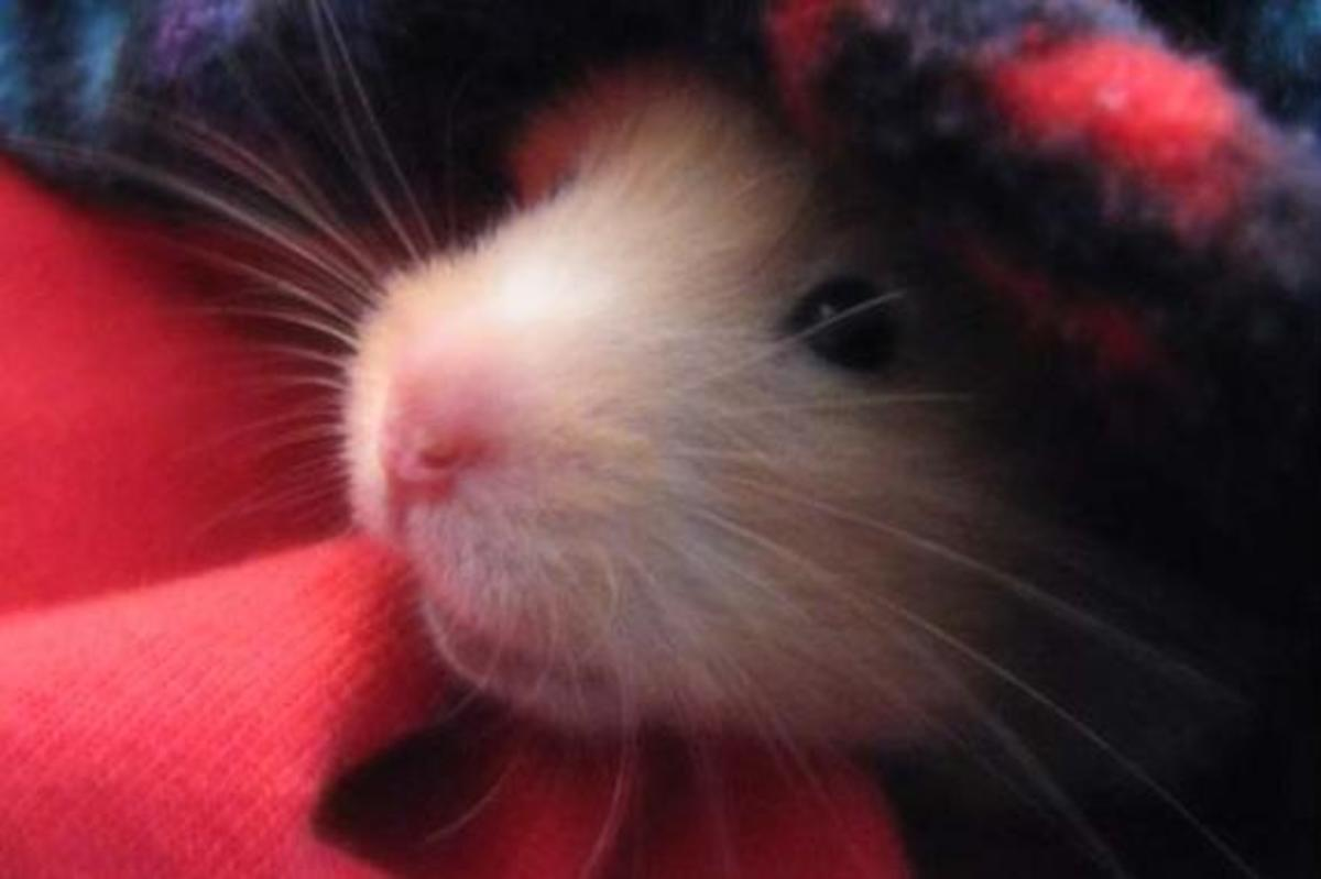 How to Care For a Sick Hamster | HubPages