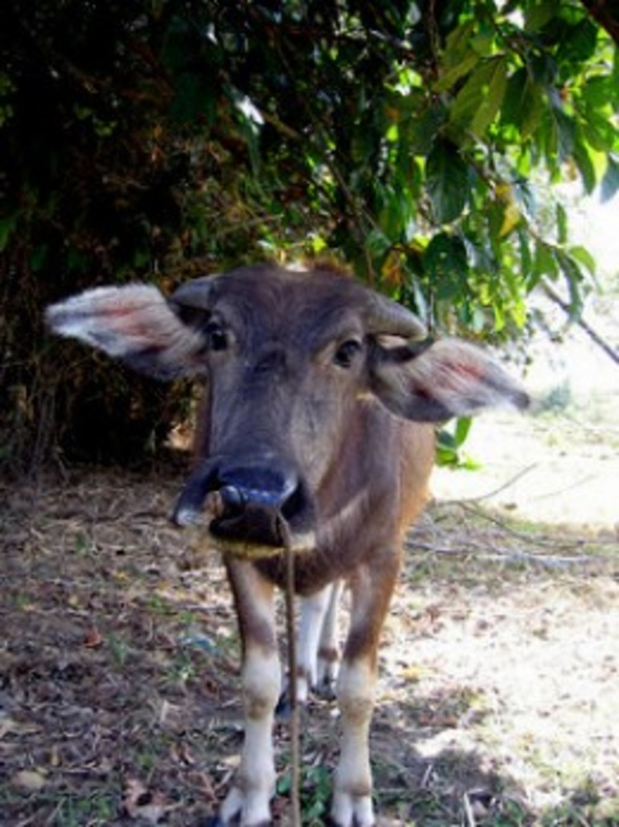 Filipino folktale : Is this the miraculous cow?