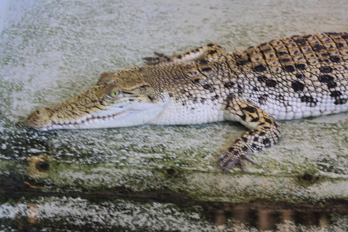 Crocodiles under the bridge