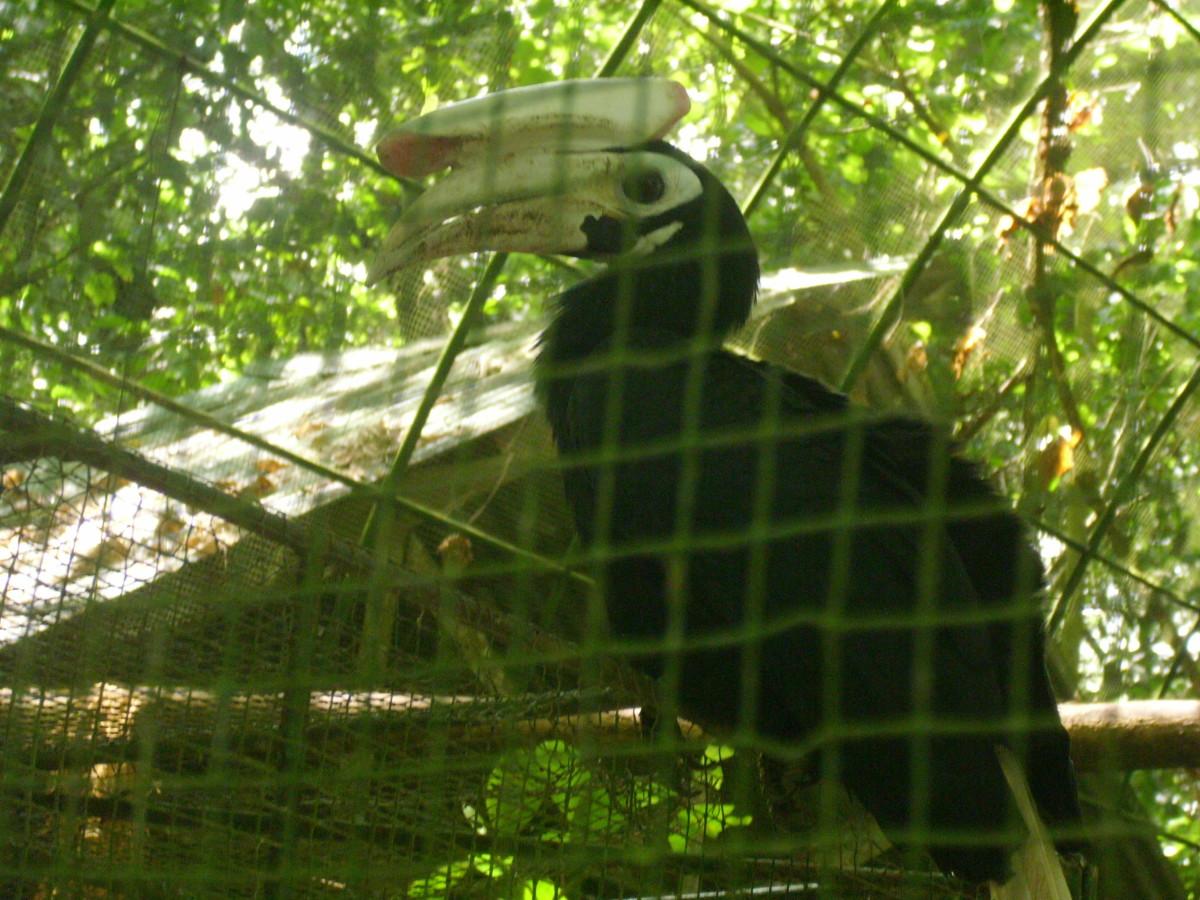 Another Hornbill