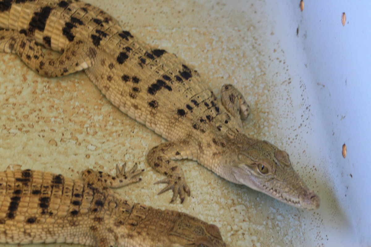 Crocodiles at the Hatchling House