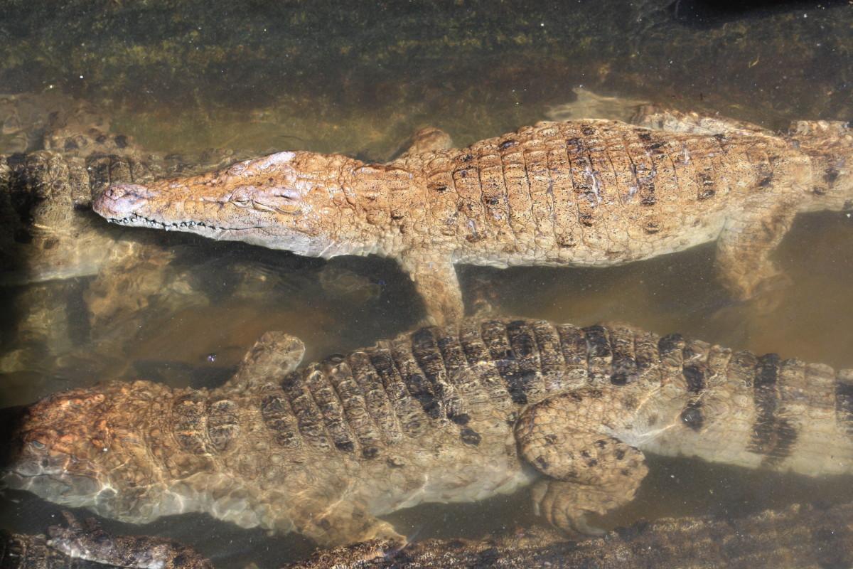 Adult Crocodiles under the bridge