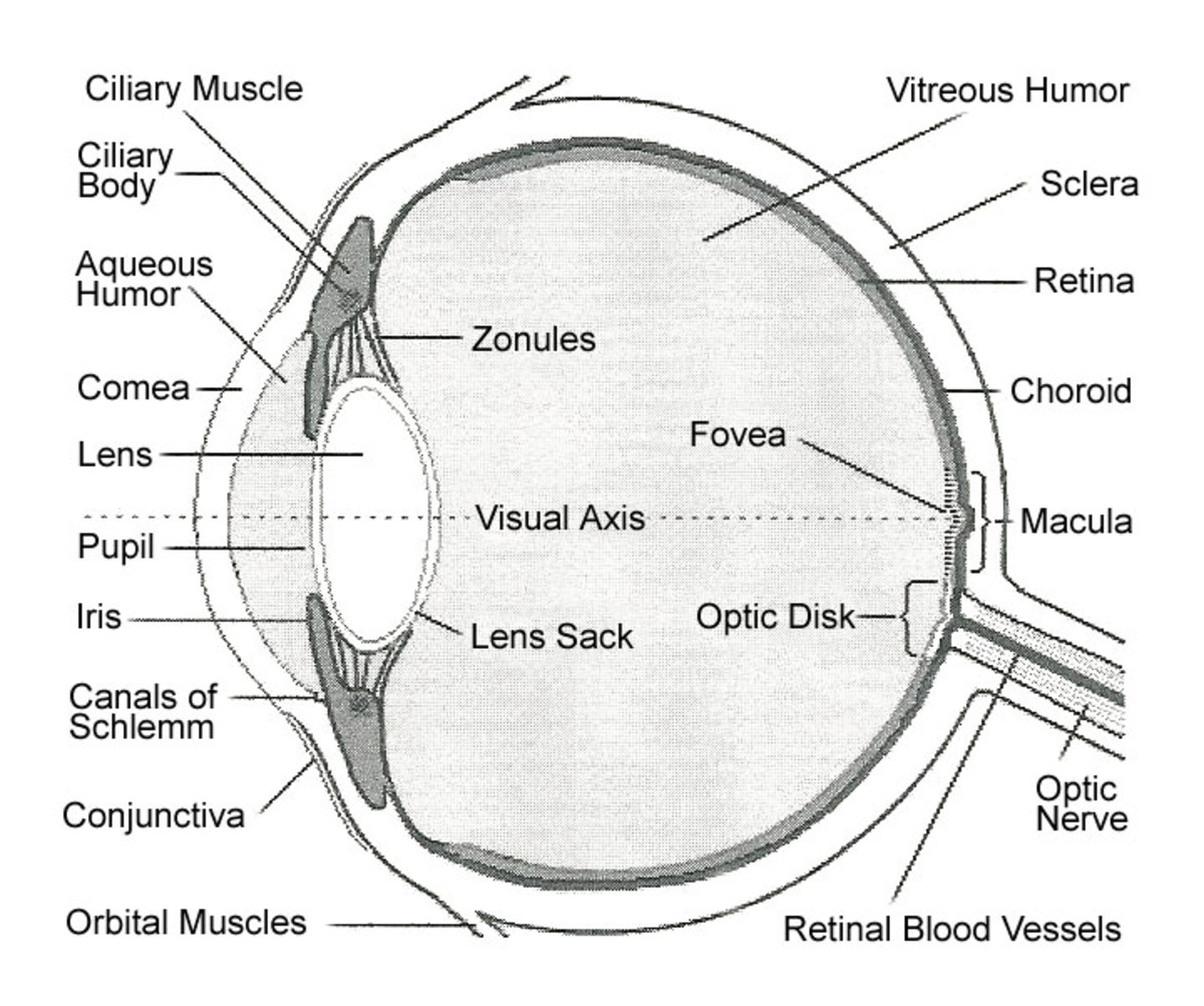 Internal Parts And Functions Of The Eye Hubpages